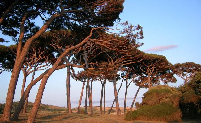 pines in baratti